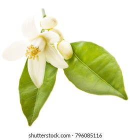 the time of flowering citrus, spring. white orange flowers, green leaves, close-up isolated on white background