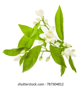 the time of flowering citrus. white orange flowers and green leaves of orange close-up isolated on white background