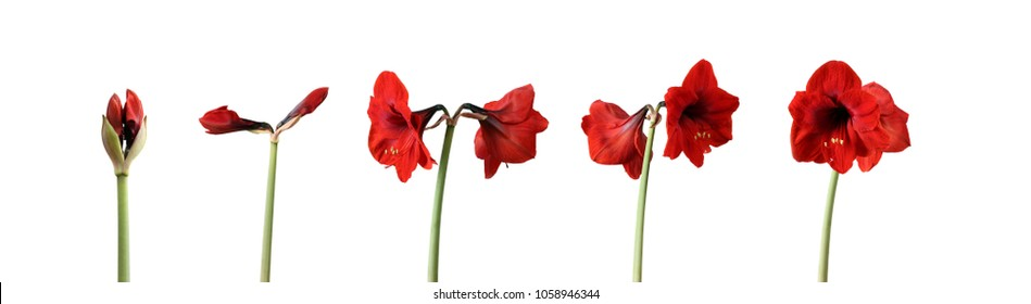 Time lapse series of red amaryllis flowers blooming - from single bud to fully blossomed large flower - isolated on white background