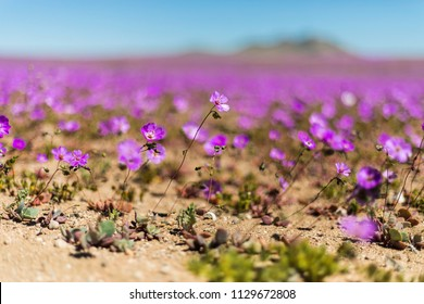 """From time to time rain comes to Atacama Desert, when that happens thousands of flowers grow along the desert from seeds that are from hundreds of years ago, amazing the """"Desierto Florido"""" phenomenom"""