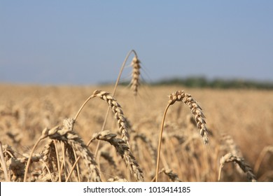 Time for wheat harvest in Huron County, Ontario, Canada