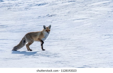 timid fox looking for food  in the snow