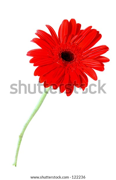 Timo variety of Gerbera Daisy set against a stark white background.