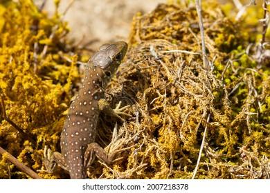 Timon lepidus, juvenile ocellated lizard on lichen. - Shutterstock ID 2007218378