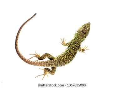 Timon lepidus (ocellated lizard) juvenile