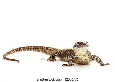 Timor Monitor Lizard (Varanus timorensis) isolated on white background.