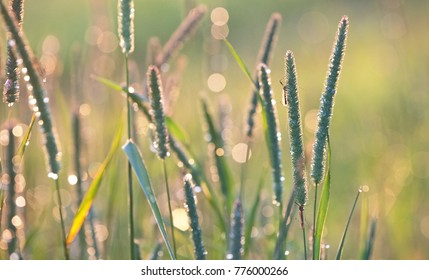 Timothy-grass in the dew in the sunset gentle natural spring background.