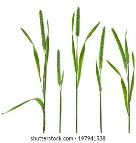 Timothy-grass ( Phleum pratense L. ) isolated on white background