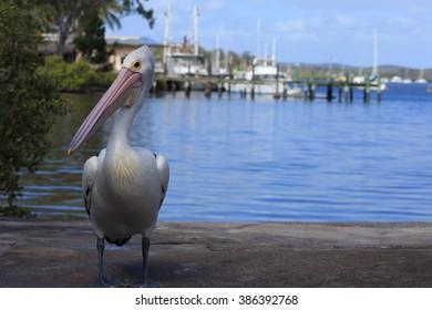 Tin Can Bay Pelican