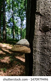 Tinder fungus, Bracket fungus grew on a trunk of tree in forest
