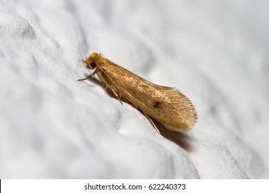 Tinea pellionella moth posed on a white wall