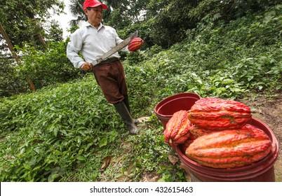 TINGO MARIA, PERU - JUNE 22: A view of the cocoa growers from Naranjillo cooperative in rainforest nearby Tingo Maria in Peru, 2011