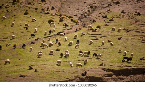 TINIFIFFT PASS, MOROCCO - OCTOBER 3, 2009:  Sheep and goat herd in Atlas mountains.