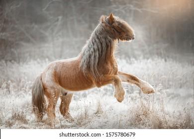 Tinker horse (gypsy cob)  at winter forest