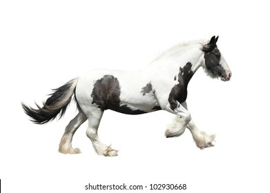 Tinker horse (irish cob) on a white background