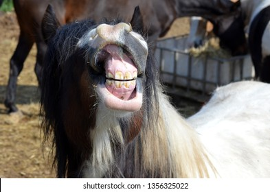 Tinker horse shows his teeth in great excitement on a small farm in Holland