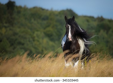 Tinker mare