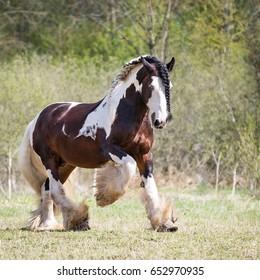 Tinker stallion.