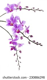 tint purple Dendrobium orchid on white background