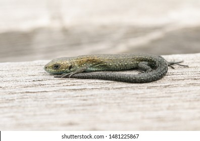 A tiny baby Common Lizard, Zootoca vivipara, warming up on a wooden boardwalk. It is the size of a small earthworm.