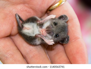 A tiny, baby gray house mouse, Mus musculus, on his back with his front paws clenched, tucked in the palm of a human hand.