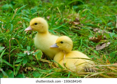 Tiny Baby Muscovy Ducklings in the Grass