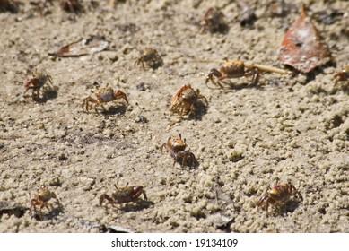 Tiny baby sand crabs on beach at Bradenton, Florida