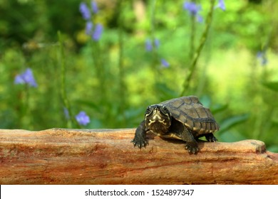 A tiny baby turtle slow moving on a rock with nature background. Malayemys subtrijuga. Malayemys isan.