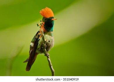 Tiny beautiful crested and coppery green  hummingbird Tufted Coquette Lophornis ornatus posing on twig showing its rufous crest and spotted plumes. Blurred orange and green background with nice bokeh.