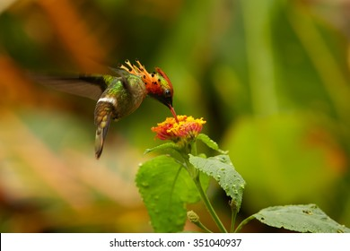Tiny beautiful crested and coppery green  hummingbird Tufted Coquette Lophornis ornatus feeding from lantana flowers. Blurred orange and green background with nice bokeh.