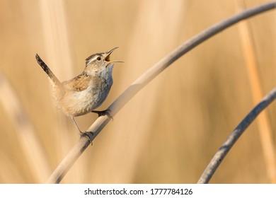 Tiny bewicks wren hidden in tan colored reeds, singing during mating season