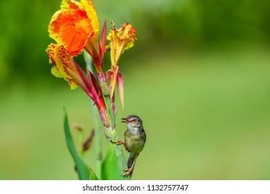 Tiny bird on beautiful flower bouquet. A Plain Prinia Bird (White-browed Prinia, Plain Wren-Warbler, Brown Wren-Warbler) standing on Canna indica (lucifer, Indian shot). close up, natural sunlight.