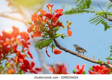 Tiny bird ,scarlet backed flowerpecker perching on flowering branch of flame tree in suny day.Bird and flowers,low angle view.