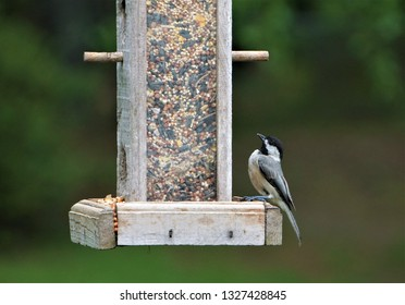 A tiny black capped chickadee (Poecile atripillus) perching on the wooden feeder on the blurry background, Spring in GA USA.