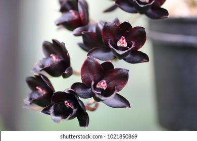 TINY BLACK ORCHIDS