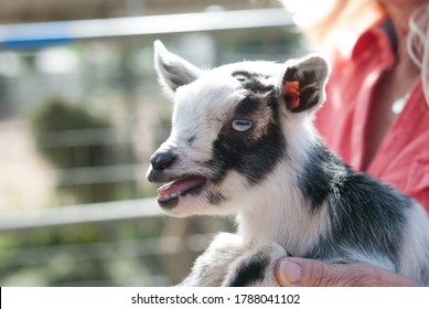 Tiny black and white Baby Goat Being Held by blonde woman in coral blouse on farm outside in pen with mouth open and teeth and tongue visible