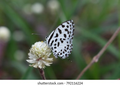 tiny black and white butterfly on white wild flower
