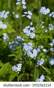 tiny blue forget me not flowers