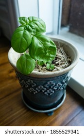 A tiny blue pot of sweet basil growing next to a window.