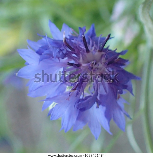 Tiny blue purple flower with spiked petals  on a soft green background.