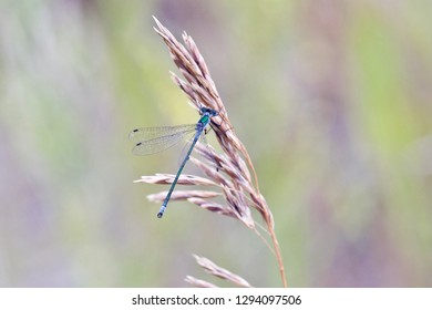 A tiny blue-green damselfly holding on a spike of meadow herb.  .