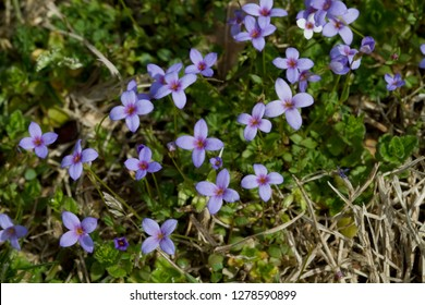 Tiny Bluet Wildflowers Houstonia pusilla