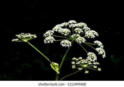 tiny bunches of white flowers on black and white isolated