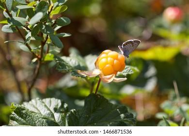 A tiny butterfly on a ripe cloudberry (Rubus chamaemorus). Season: Summer. Location: Western Siberian taiga.