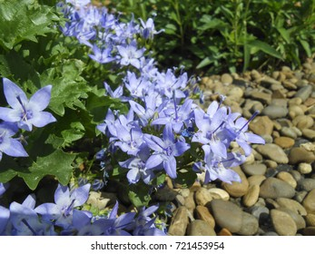 Tiny campanula get mee or bellflowers Gardening still life with natural light. Beautiful spring background with campanula bouquet. Campanula portenschlagiana