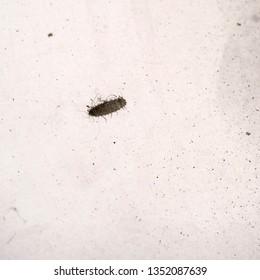 Tiny carpet beetle larva, macro. About 2mm long.