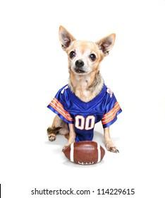 a tiny chihuahua in a football uniform