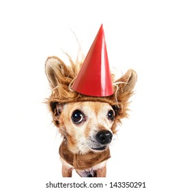 a tiny chihuahua in a lion costume with a birthday hat on