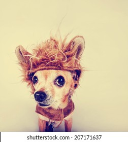 a tiny chihuahua in a lion costume toned with a retro vintage instagram filter