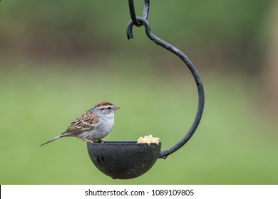 Tiny Chipping Sparrow Eating at Small Hanging Feeder
